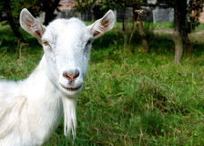 Goat. White goat, in green grass background Royalty Free Stock Images