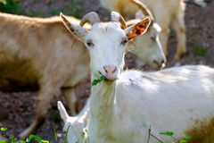 Goat. Goals watching and eating in nature royalty free stock photo