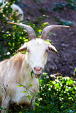 Goat. Eating and watching in nature stock image