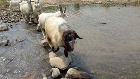 Goat. Through the small river royalty free stock photos