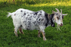 The goat Stock Photography