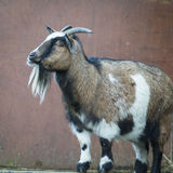 Goat. Handsome goat against plain backgorund Royalty Free Stock Photos