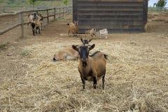 A Goat Royalty Free Stock Photos