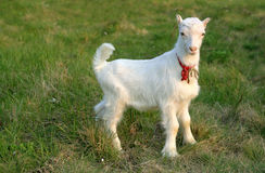 Goat. Young goat outside on grass field Royalty Free Stock Images