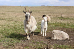 Free Goat Stock Photography - 39626142