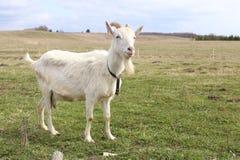 Free Goat Royalty Free Stock Photo - 39626155