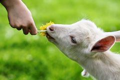 Free Goat Royalty Free Stock Photos - 3970548