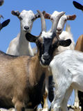 Goat. Climbed on the Top of Agarmysh Mountain, Crimea stock images