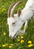 Goat. Old goat on chain Stock Images