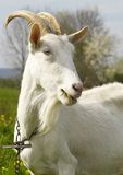 Goat. Old goat on chain Stock Image
