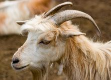Goat. Head of a goat Stock Photography