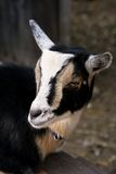 Goat. Nigerian Dwarf Goat looking to the side Stock Images