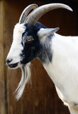 Goat. In the Bronx Zoo Royalty Free Stock Images