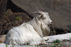 Goat. Under the angle of mountain, A goat has a rest at the roadside Stock Image