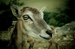 .goat Images stock