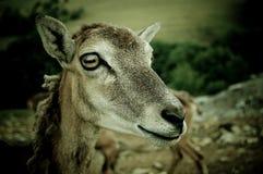 .goat. Portrait of a muflon goat Stock Images