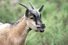 Goat. Closeup of a goat bleating alone in the vegetation royalty free stock images