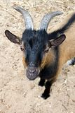 Goat. Closeup of a curious goat looking up royalty free stock photos