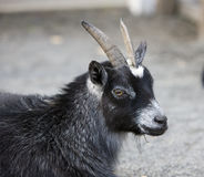 Goat. Image of the goat at the farm stock image