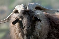 Goat. Old goat, the leader of herd Royalty Free Stock Image