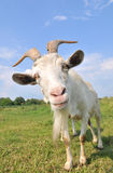 Goat. A goat on the meadow stock image