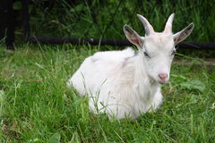 Goat. A photo of a goat Royalty Free Stock Photos