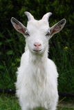 Goat. A photo of a goat Stock Photos