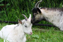 Goat. A photo of two goats kissing stock photos