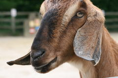 Goat. A cute brown goat smiling Royalty Free Stock Photography