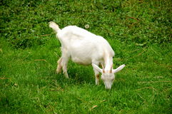 Goat. An young white goat in a meadow Stock Photography
