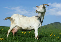 Goat. A goat in a pasture with a grassy hill in the backround Royalty Free Stock Photography