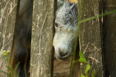 Goat. A baby goat imprisoned in back of a fence Stock Photo