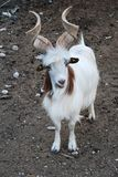 Goat. Antelope (The Markhor ) in a field Stock Photography