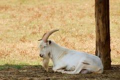 Free Goat Stock Image - 5970561