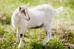 Free Goat Royalty Free Stock Photography - 61258277