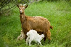 Free Goat Royalty Free Stock Photos - 622728
