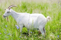 Goat. White Goat in the grass royalty free stock photos