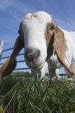 Goat. Close-up of a domestic goat on a farm in Iowa royalty free stock photos