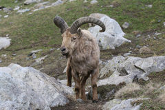 Goat. In the mountain, sitting on rocks Royalty Free Stock Image