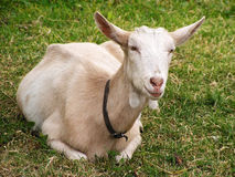 Goat. Resting goat on fresh grass stock photo