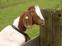 Goat. 's head Royalty Free Stock Images