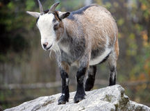 Goat 8 Stock Images