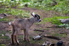 Goat. Stray baby goat Royalty Free Stock Photos
