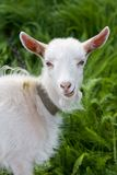 Goat. Portrait of a goat. Green grass Stock Image