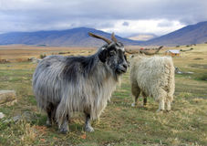 Goat. A goat at the ranch in Patagonia Royalty Free Stock Photo