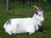 Goat. Sitting down Stock Photo