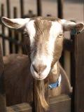 Goat. 's brown head with a long beard stock photos