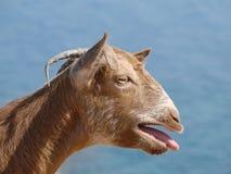 Free Goat Royalty Free Stock Photo - 8934485