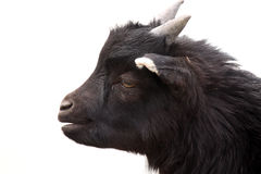 Goat. Closeup of a black Goat against a white background Stock Image