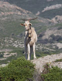Goat. S, Sardinia, Italy royalty free stock images